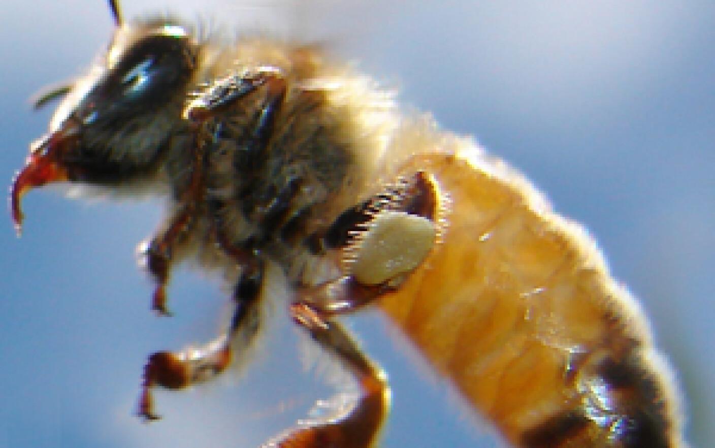 intepatura albinelor in penis