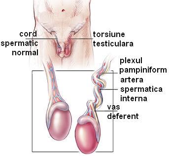 ce afectează mărimea testiculelor și a penisului