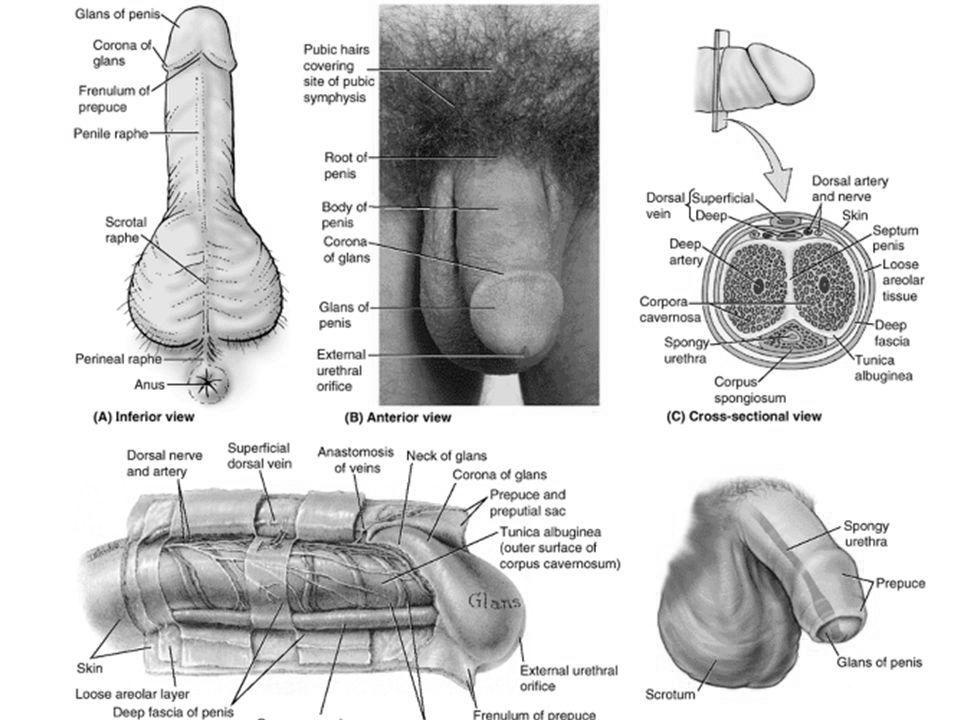 totul despre structura penisului