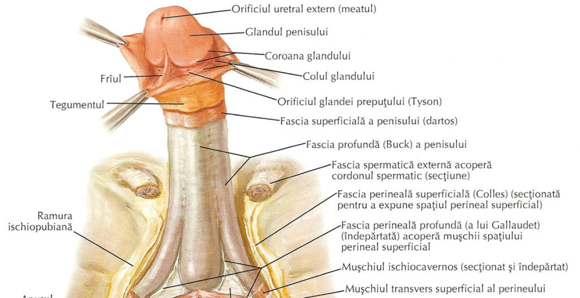 Iritația penisului: din ce cauze apare și cum se tratează