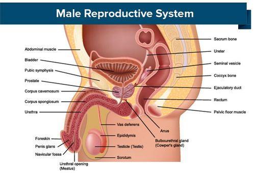 erecția organelor genitale masculine
