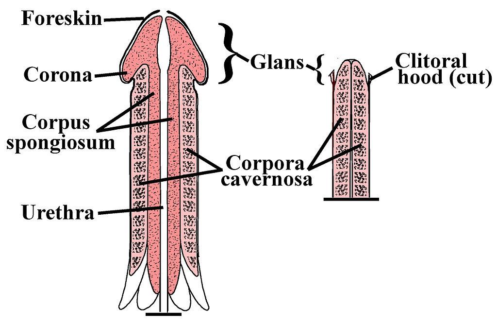 Creșterea dimensiunii exercițiilor penis
