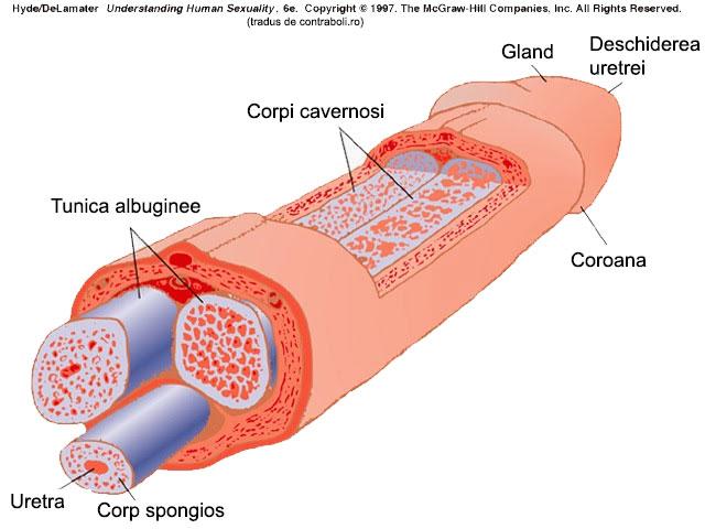baza penisului