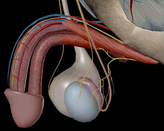 când erecția va fi restabilită cu prostatită ce poate provoca o erecție