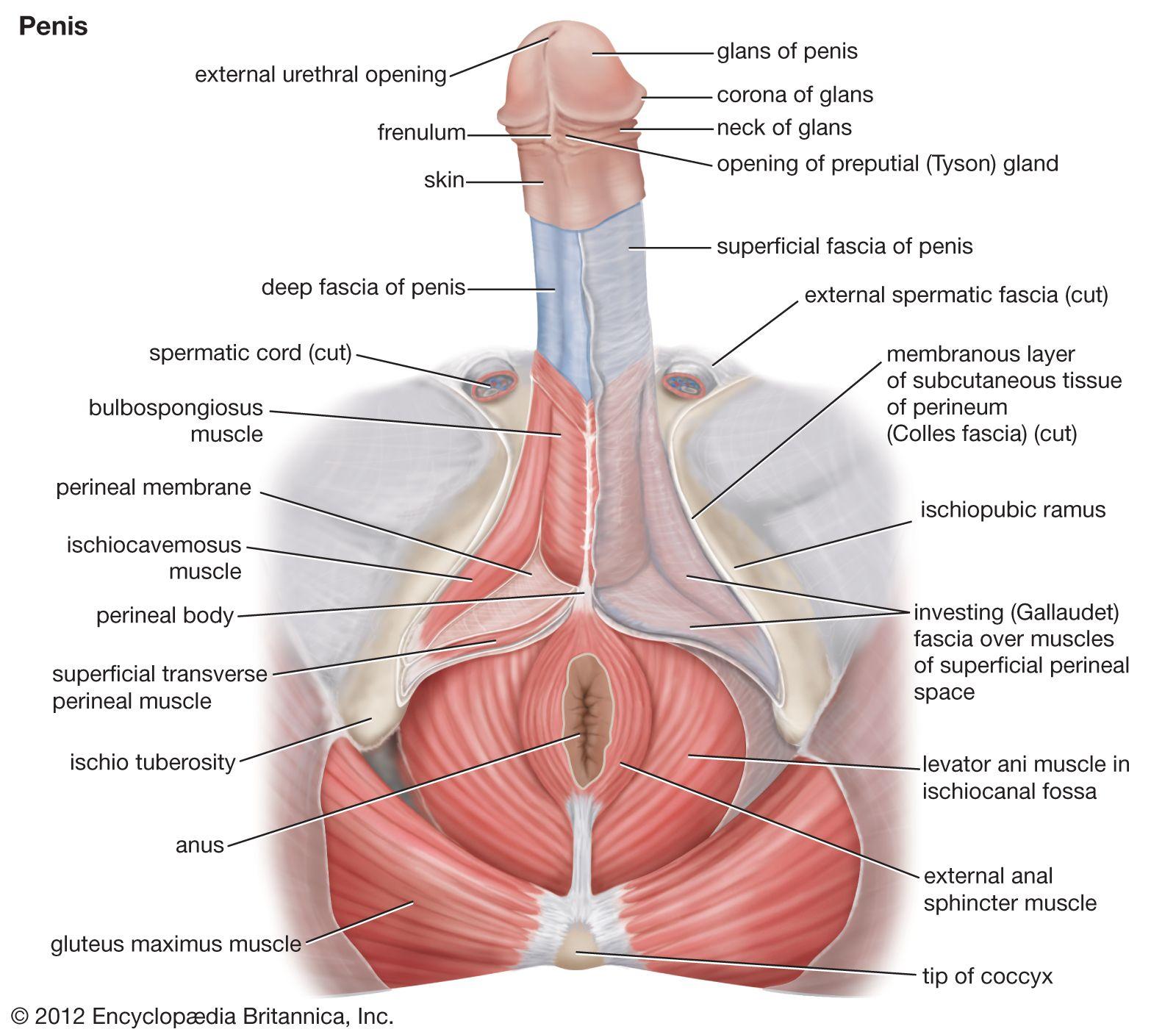 penis uman normal
