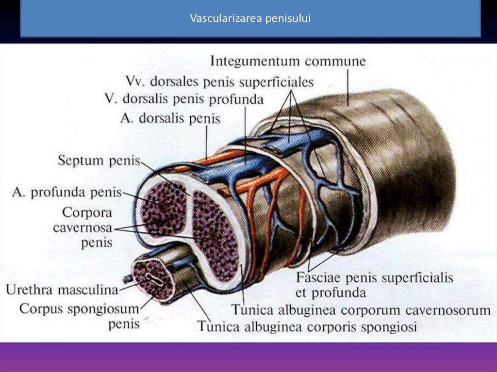pentru penisul masculin depășește complexul de erecție