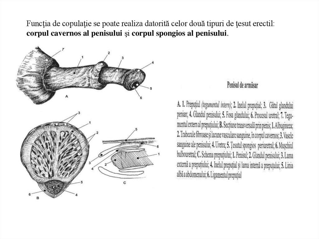 lungimea penisului armăsarului unguent de tetraciclină în penis