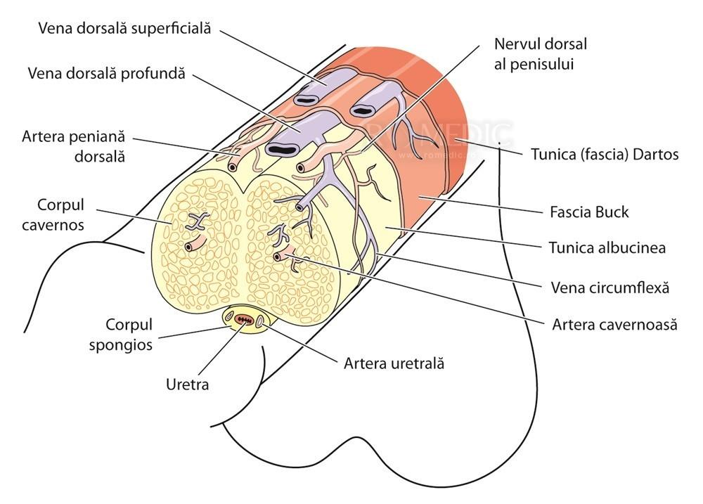 formă neregulată a penisului