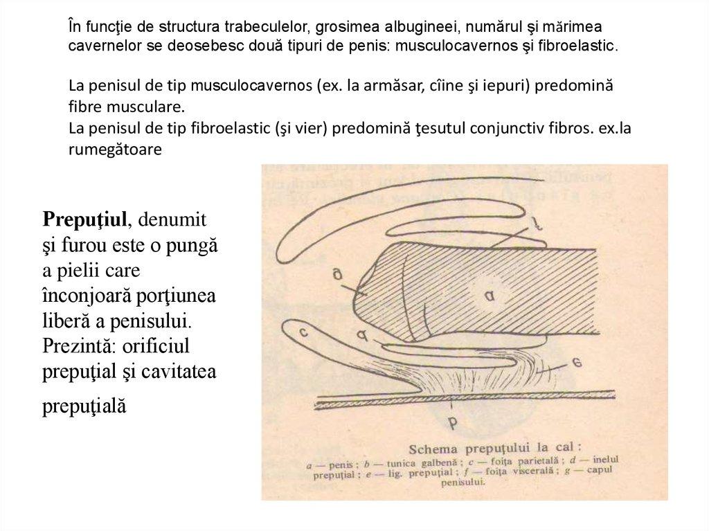 maturarea penisurilor