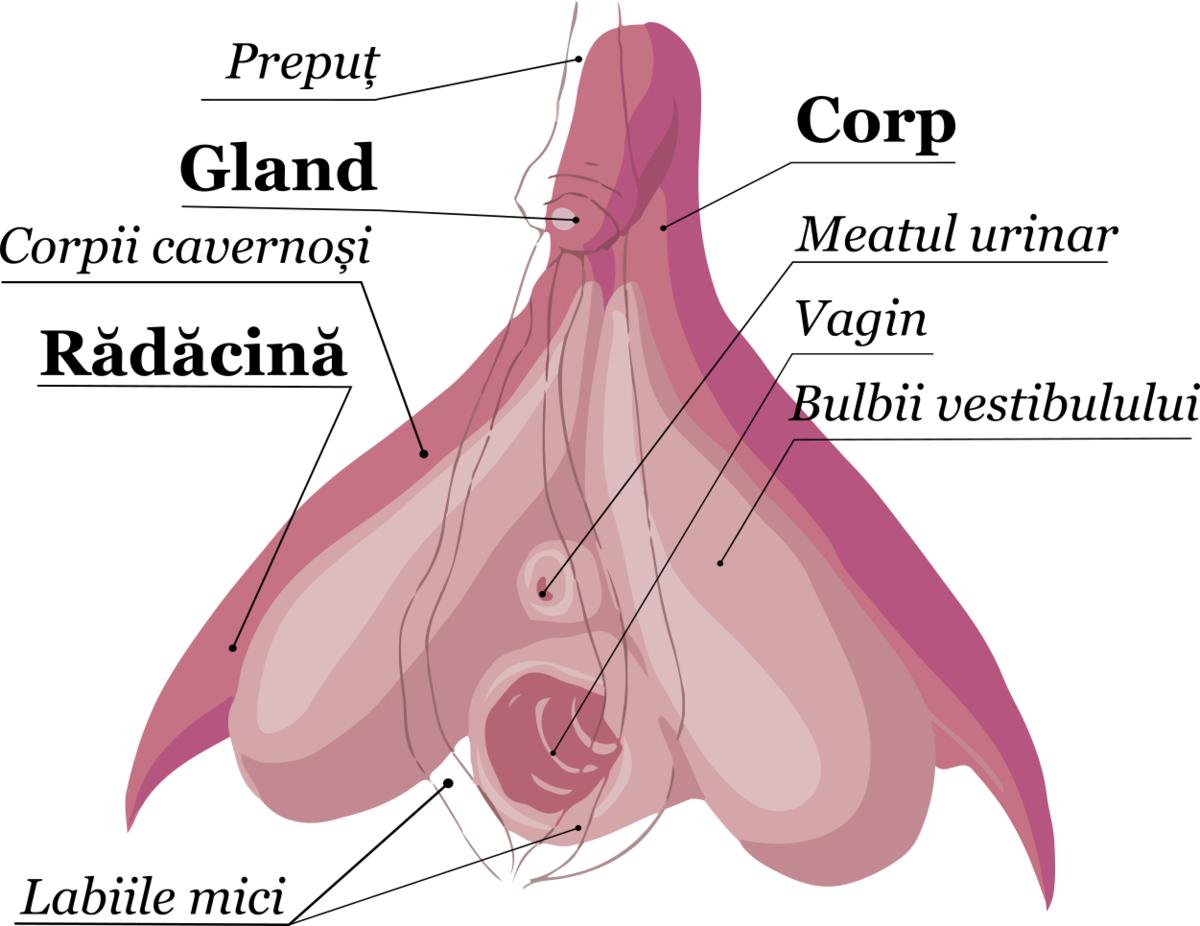 penisului și corpului feminin