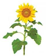floarea soarelui penisului