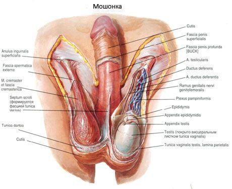 afectează osteocondroza erecția