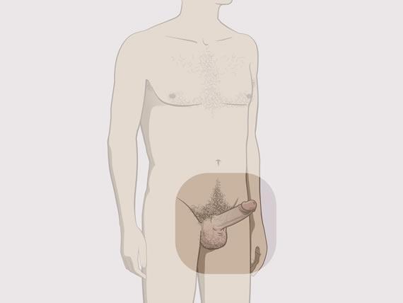 cum se formează o erecție de ce poate cădea o erecție