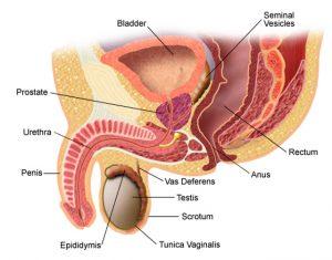 stimularea erecției prostatei
